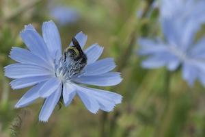 Native bee near Selkirk Trestle