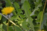 dandelion greens