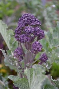 Purple Sprouting Broccoli